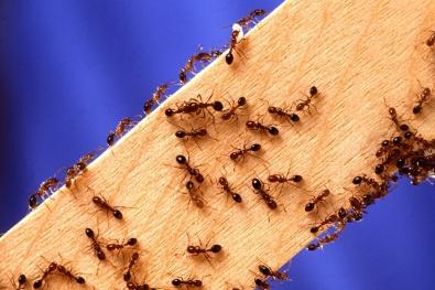 pest ants